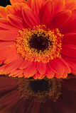 Single flower of red gerbera on black background Stock Images