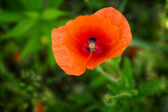 Single flower of red poppy Royalty Free Stock Image