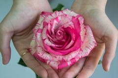 Girl holding a pink and white rose,close-up the hands of a woman, single flower, gift for 8 march, mother`s day, women`s day or S royalty free stock image