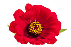 Single flower of red zinnia  on white background Royalty Free Stock Images