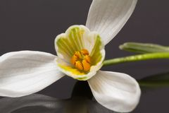 Single flower of snowdrop isolated on dark background Royalty Free Stock Images
