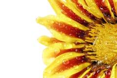 Single flower of tiger Gazania with drops. (Splendens genus aste Stock Image
