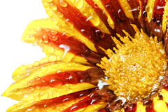 Single flower of tiger Gazania with drops. (Splendens genus aste Stock Photo