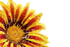Single flower of tiger Gazania with drops. (Splendens genus aste royalty free stock photo