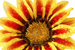 Single flower of tiger Gazania with drops. (Splendens genus aste Stock Image