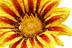Single flower of tiger Gazania with drops. (Splendens genus aste royalty free stock images