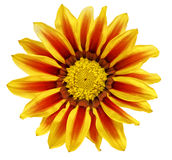 Single flower of tiger Gazania. (Splendens genus asteraceae).Iso Stock Images