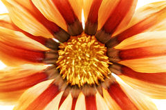 Single flower of tiger Gazania. (Splendens genus asteraceae).Iso Royalty Free Stock Photo