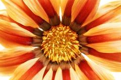 Single flower of tiger Gazania. (Splendens genus asteraceae).Iso Royalty Free Stock Photo