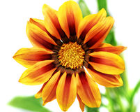 Single flower of tiger Gazania. (Splendens genus asteraceae).Iso Stock Photos
