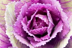 Single flower of violet  brassica oleracea - close up Stock Photography