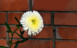 Single flower white asters against a brick wall. Stock Image