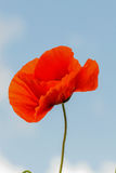 Single flower of wild red poppy on blue sky background with focus on flower Royalty Free Stock Image