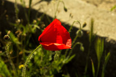 Single flower of wild red poppy on a concrete wall. Background with focus on flower stock photo