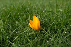 Single yellow crocus in grass with water drops royalty free stock image