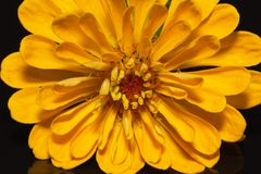 Single flower of yellow zinnia isolated on black background - close up Royalty Free Stock Photos