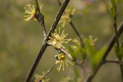 Single flowering yellow dogwood flowering flowers. royalty free stock photos
