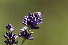 Single flowers on lavender in the garden - macro Royalty Free Stock Image