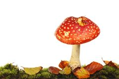 Single fly agaric mushroom. Fly agaric mushroom growing in moss and leaf litter against a white background stock photo