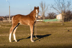 Single foal Royalty Free Stock Photos