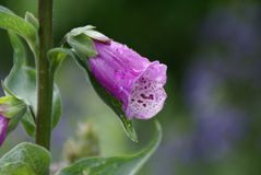 Single Foxglove Bloom Royalty Free Stock Photos