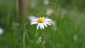 Single fragile white flower with movement of grass out of focus.