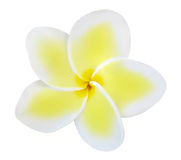 Single Frangipani Royalty Free Stock Images