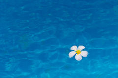 Single frangipani flower in blue water. Royalty Free Stock Image