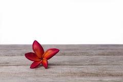 Single Frangipani or Plumeria flower on wooden background. stock image