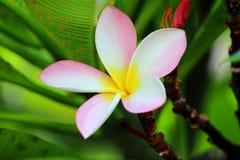 Single Frangipanis flower Royalty Free Stock Photography