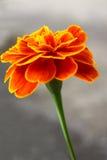 Single French Marigold Royalty Free Stock Photo