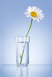 Single Fresh chamomile in glass water Isolated Stock Images