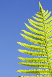 Single fresh green fern leaf Royalty Free Stock Images