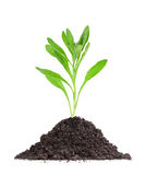 Plant in a mound of soil Royalty Free Stock Images