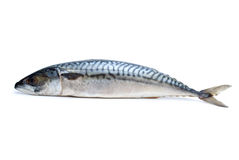 Single fresh mackerel fish Royalty Free Stock Photos