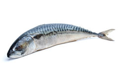 Single fresh mackerel fish Stock Images