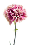 Single fresh pink carnation Royalty Free Stock Photo