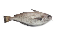 Single fresh pout whiting. On white background Royalty Free Stock Images