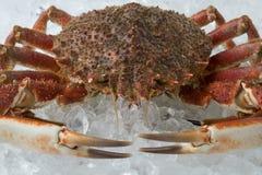 Single fresh raw spider crab on ice. Close up Stock Photo