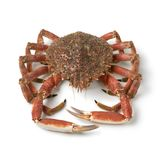 Single fresh raw spider crab. On white background Royalty Free Stock Images