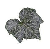 Squash Leaf Royalty Free Stock Photos