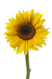 Single fresh sunflower Royalty Free Stock Photos
