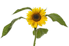 Single fresh sunflower Royalty Free Stock Photography