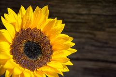 Single fresh sunflower on wooden board whit copy space stock photos