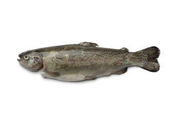 Single fresh trout Royalty Free Stock Images