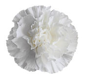 White Carnation Flower Royalty Free Stock Image