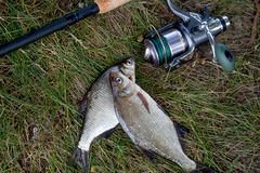 Single freshwater white bream or silver bream, bronze bream or carp bream on green grass and fishing rod with reel on natural. Fishing concept. Freshwater fish stock photo