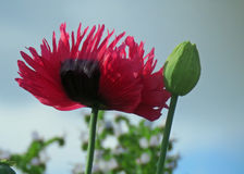 Single frilled poppy Stock Photography