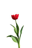 Single fringed red tulip isolated Stock Photo