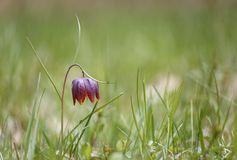 Single fritillaria melagris and ants in the meadow stock photography